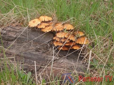 ciuperci otravite